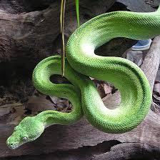 http://woopitworldwide.blogspot.com/2006/12/snakes-of-australia.html