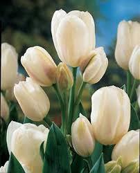 http://names-of-flower.blogspot.com/2008/08/tulip-cream-flower.html